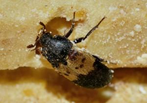 Gemeiner Speckkäfer – dermestes lardarius