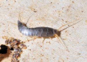 Silberfischchen – lepisma saccarina