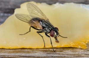 Stubenfliege – musca domestica