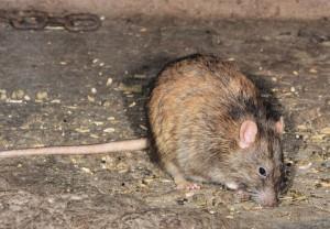 Wanderratte – rattus norvegicus