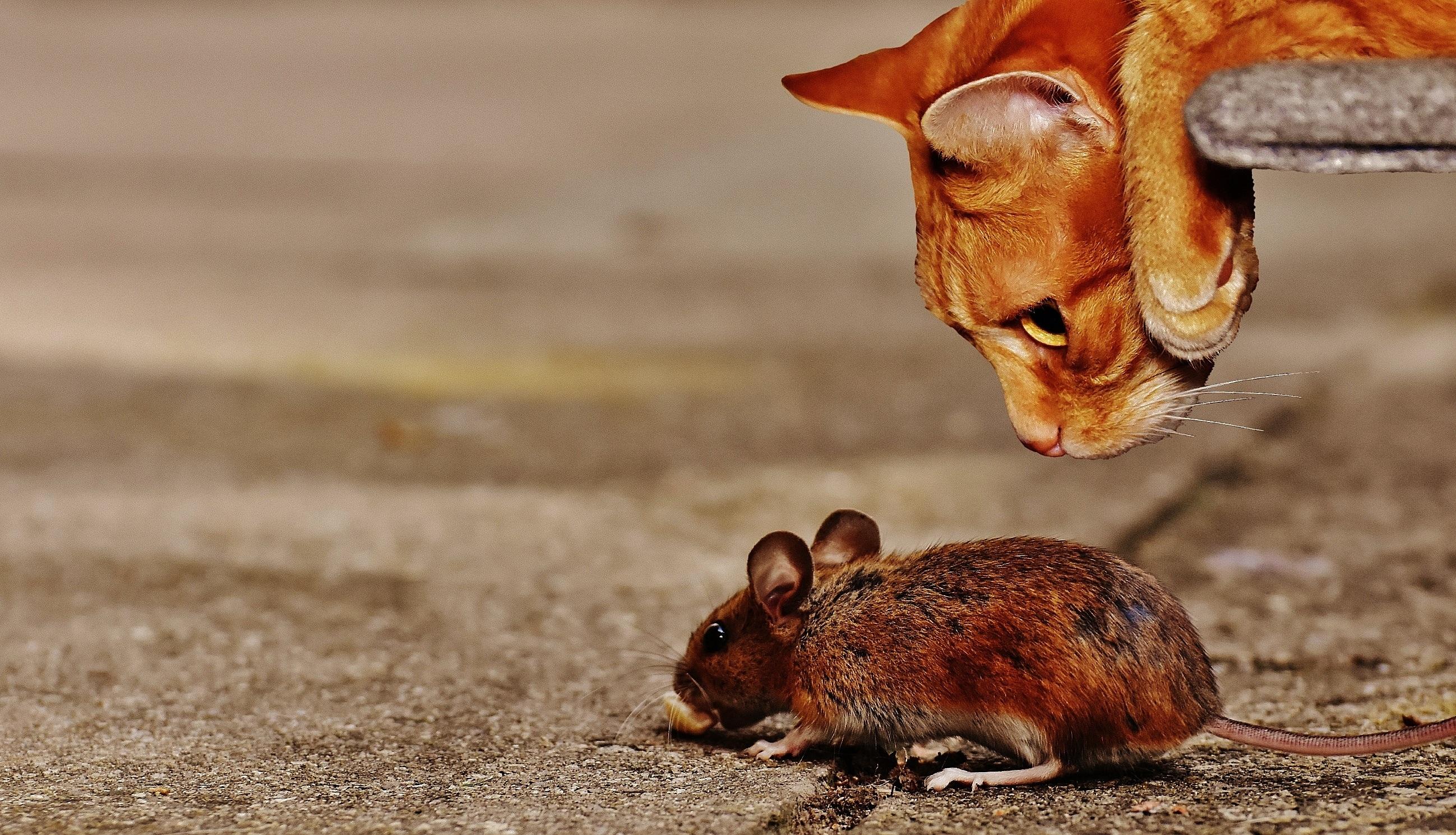 Eine Maus kann schnell zu einem großen Problem werden. - Leeser & Will Schädlingsbekämpfung München betreut durch ready4marketing.de