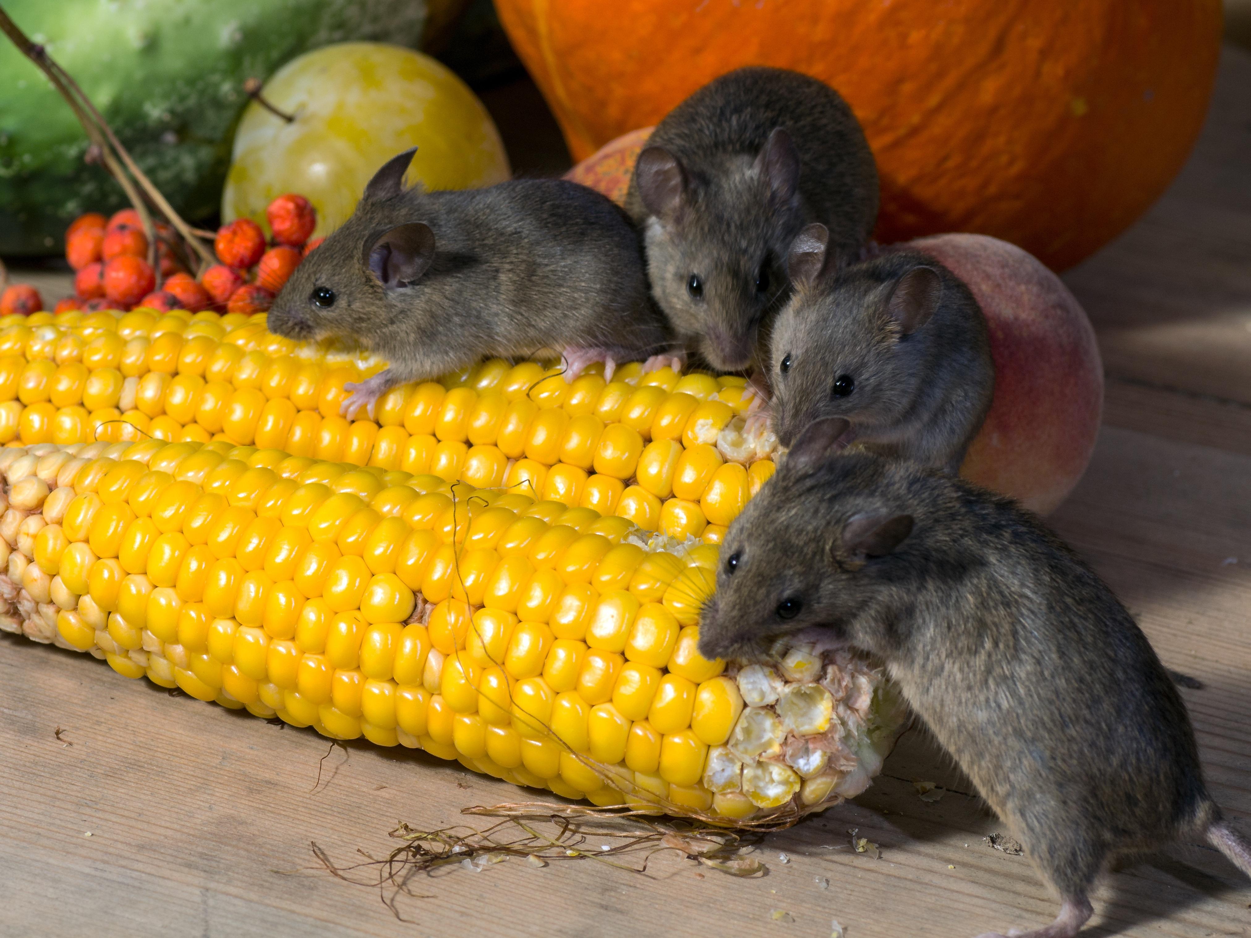 Mäuse sind Gesundheitsschädlinge - Leeser & Will Schädlingsbekämpfung München betreut durch ready4marketing.de